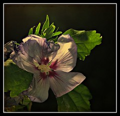 Hibiscus (patrick.verstappen) Tags: test tag textured yahoo gingelom google flickr facebook barbie sale xxx nikon canon sony loaf leaf seed high grass best sold fun code d5100 texture twitter sun rêve garden garten ipernity ipiccy imagine inspiration photo picassa pinterest belgium ☺ ♥ tea flower sky cherish sherry blossem spring limburg patrick verstappen bélgica sigma herbes cloudy text field sunset experiment nature summer stillife august pat patrickverstappen populus