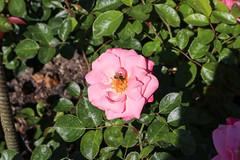 Vacances_0985 (Joanbrebo) Tags: mainau konstanz badenwürttemberg de deutschland canoneos80d eosd autofocus flors flores flowers fiori fleur blumen blossom rose rosa