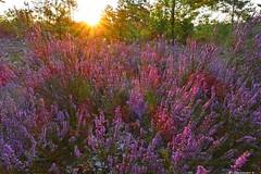 Sonnenaufgang in der Heide | Sunrise in the heather (swordsweeper) Tags: sonne sonnenschein sonnenstrahlen sonnenaufgang heide heideblüte heidekraut brandenburg berlinerforsten schönowerheide deutschland europa violett blüten sun sunshine sunrays heather heatherflower blossom germany europe landscape sol rayosdesol amanecer brezo brandenburgo violeta flores