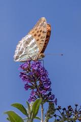 Papillon (clamar18) Tags: buddleia fleurs jardin marron orange papillon tabacdespagne mérysurcher france insecte vierzon butterffly