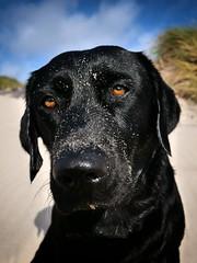dune mouse (uwe.kast) Tags: labrador labradorretriever labradorredriver hund haustier dog bichou denmark dänemark dunes dünen panasonic lumix g9 sand