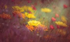 wildflowers (Dhina A) Tags: mirror reflex minolta sony f56 rf 250mm a7r rokkorx a7rii a7r2 ilce7rm2 summer flower prime md bokeh wildflower manualfocus rokkor minolta250mmf56