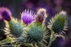 20190824-2799-Distel-bw (Rob_Boon) Tags: dikkebuiksweg distel macro on1 plant robboon thistle flower backlight