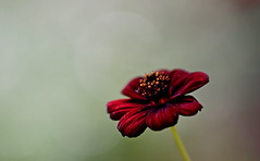 flower 1803 (kaifudo) Tags: sapporo hokkaido japan flower homegarden chocolatecosmos cosmos 札幌 札幌市 北海道 コスモス チョコレートコスモス nikon d810 sigmaapomacro150mmf28 sigma 150mm