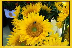 Sleepy Sunday Morning (James0806) Tags: farmersmarket saunderstown rhodeisland usa bees sunflowers flowers insects farmersmarkets coastalgrowersfarmersmarket