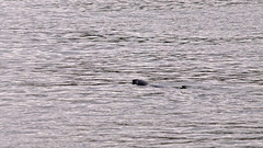 Halichoerus grypus - A Grey Seal in the waters of Stockholm (Franz Airiman) Tags: halichoerusgrypus säl seal sälis sälx grayseal greyseal animal djur stockholm sweden scandinavia wild vild vattendjur mammal watermammal däggdjur vattendäggdjur gråsäl finnboda nacka