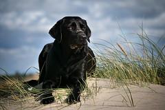 chilling in the dune (uwe.kast) Tags: labrador bichou hund haustier dog düne dune denmark dänemark westküste panasonic g9 lumix