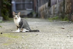 cat (NEKOFighter) Tags: cat neko nikon d500 japan straycat animal 猫