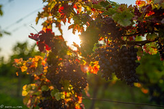 DSC07011 (shots_i_took) Tags: sony a7iii bunchofgrapes grapes vintage vino vine wine wineyard sonyphotography sunbeams nature sonya7iii sonyalpha ingelheim plants