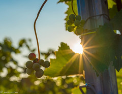DSC06998 (shots_i_took) Tags: sony a7iii bunchofgrapes grapes vintage vino vine wine wineyard sonyphotography sunbeams nature sonya7iii sonyalpha ingelheim plants
