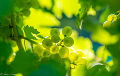 DSC06925 (shots_i_took) Tags: sony a7iii bunchofgrapes grapes vintage vino vine wine wineyard sonyphotography sunbeams nature sonya7iii sonyalpha ingelheim plants