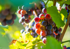 DSC06912 (shots_i_took) Tags: sony a7iii bunchofgrapes grapes vintage vino vine wine wineyard sonyphotography sunbeams nature sonya7iii sonyalpha ingelheim plants