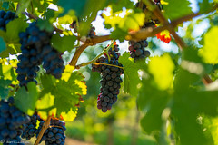 DSC06906 (shots_i_took) Tags: sony a7iii bunchofgrapes grapes vintage vino vine wine wineyard sonyphotography sunbeams nature sonya7iii sonyalpha ingelheim plants