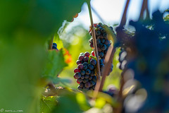 DSC06890 (shots_i_took) Tags: sony a7iii bunchofgrapes grapes vintage vino vine wine wineyard sonyphotography sunbeams nature sonya7iii sonyalpha ingelheim plants