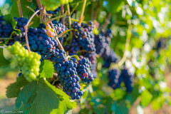 DSC06883 (shots_i_took) Tags: sony a7iii bunchofgrapes grapes vintage vino vine wine wineyard sonyphotography sunbeams nature sonya7iii sonyalpha ingelheim plants