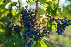 DSC06881 (shots_i_took) Tags: sony a7iii bunchofgrapes grapes vintage vino vine wine wineyard sonyphotography sunbeams nature sonya7iii sonyalpha ingelheim plants