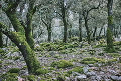 Green In The Woods (orkomedix) Tags: canon 6d mallorca woods ef24105f4l 24105f4l green trees forest spain phototrip