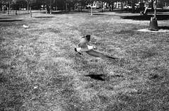 Seagull on the move (Uta_kv) Tags: homedevelped slr filmcamera blackandwhitephotography supermulticoatedtakumar ilfordhp5 rodinal rangefinder fujicast801 hp5plus1600 hp5 35mm film fujica