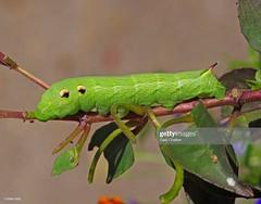 Elephant Hawk-moth  caterpillar (Gary Chalker, Thanks for over 4,000,000. views) Tags: elephanthawkmothcaterpillar caterpillar pentaxk5 pentax k5 sigma105mmf28exdg 105mm 105mmf28exdg hawkmoth