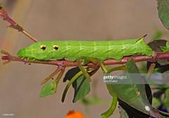 Elephant Hawk-moth caterpillar (Gary Chalker, Thanks for over 4,000,000. views) Tags: elephanthawkmothcaterpillar caterpillar hawkmoth pentaxk5 pentax k5 sigma105mmf28exdg 105mm