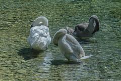 IL TRIO MAMMA E FIGLI (cune1) Tags: uccelli birds animali animals acqua water colori colors natura nature italia umbria paludedicolfiorito