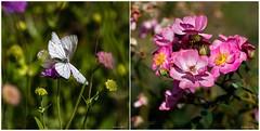 La fleur et les papillons (Savoie 07/2019) (gerardcarron) Tags: fleurs papillon nature savoie