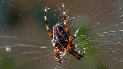 common European garden spider (andrew watts photography) Tags: spider macro d800 105mm nikongarden wildlife insect