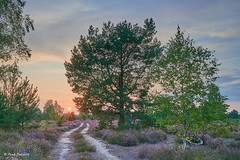 Heathland sunset (Petra S photography) Tags: heathland reicherskreuzerheide heide heideblüte heather heath sunset brandenburg brandenburgsonnenuntergangsunset sonnenuntergang