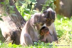 We Are Family......... (law_keven) Tags: whitenappedmangabey animals wildlife wildlifephotography animalphotography zoo londonzoo monkey monkeys primate primates mammals london england