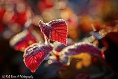 20190824-2782-Blad-bw (Rob_Boon) Tags: blad dikkebuiksweg macro on1 plant tegenlicht robboon leaf flower backlight