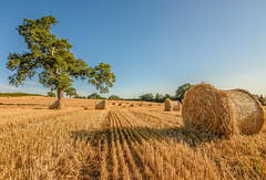 I Just Had To Return (williamrandle) Tags: romsley bromsgrove worcestershire england uk summer outdoor landscape field crops bales strawbales tree golden colours countryside nikon d750 tamron2470f28vc