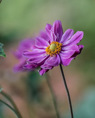 Nice Setting. (Omygodtom) Tags: anemones wrinkled scene setting nature flora natural art algorithm nikon70300mmvrlens usgs japanese macro dof bokeh