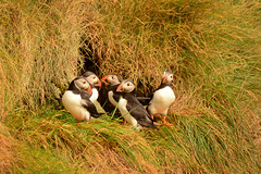 Ever Get the Feeling Everyone Was Just Talking About You (jackkostelec) Tags: puffins eysturoy gjogv faroeislands atlanticpuffins