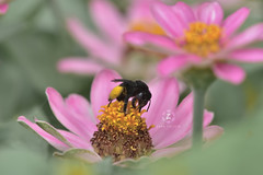 Bee to the blossom, moth to the flame (Zara Calista) Tags: macro bee pink nikon soft flower pollen sac