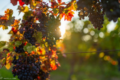 DSC07021 (shots_i_took) Tags: sony a7iii bunchofgrapes grapes vintage vino vine wine wineyard sonyphotography sunbeams nature sonya7iii sonyalpha ingelheim plants
