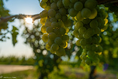 DSC06981 (shots_i_took) Tags: sony a7iii bunchofgrapes grapes vintage vino vine wine wineyard sonyphotography sunbeams nature sonya7iii sonyalpha ingelheim plants