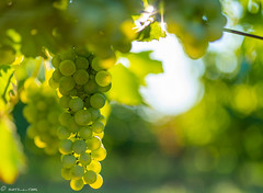 DSC06923 (shots_i_took) Tags: sony a7iii bunchofgrapes grapes vintage vino vine wine wineyard sonyphotography sunbeams nature sonya7iii sonyalpha ingelheim plants