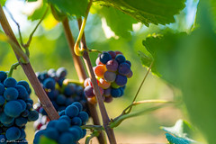 DSC06892 (shots_i_took) Tags: sony a7iii bunchofgrapes grapes vintage vino vine wine wineyard sonyphotography sunbeams nature sonya7iii sonyalpha ingelheim plants
