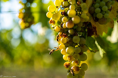 DSC06874 (shots_i_took) Tags: sony a7iii bunchofgrapes grapes vintage vino vine wine wineyard sonyphotography sunbeams nature sonya7iii sonyalpha ingelheim plants