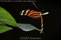 Gouden Langvleugel - Heliconius hecale - Tiger Longwing (MrTDiddy) Tags: zooantwerpen zoo antwerpen antwerp gouden langvleugel heliconius hecale tiger longwing
