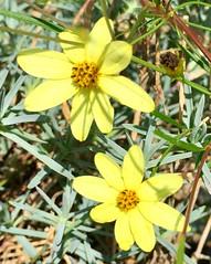 Coreopsis (stashheap) Tags: coreopsis yellow flowers
