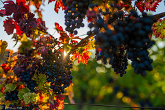 DSC07017 (shots_i_took) Tags: sony a7iii bunchofgrapes grapes vintage vino vine wine wineyard sonyphotography sunbeams nature sonya7iii sonyalpha ingelheim plants