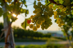 DSC07006 (shots_i_took) Tags: sony a7iii bunchofgrapes grapes vintage vino vine wine wineyard sonyphotography sunbeams nature sonya7iii sonyalpha ingelheim plants