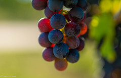DSC06965 (shots_i_took) Tags: sony a7iii bunchofgrapes grapes vintage vino vine wine wineyard sonyphotography sunbeams nature sonya7iii sonyalpha ingelheim plants