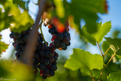 DSC06917 (shots_i_took) Tags: sony a7iii bunchofgrapes grapes vintage vino vine wine wineyard sonyphotography sunbeams nature sonya7iii sonyalpha ingelheim plants