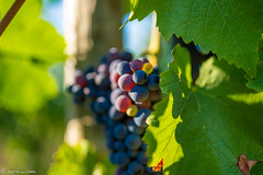 DSC06903 (shots_i_took) Tags: sony a7iii bunchofgrapes grapes vintage vino vine wine wineyard sonyphotography sunbeams nature sonya7iii sonyalpha ingelheim plants