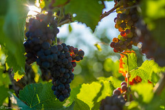 DSC06902 (shots_i_took) Tags: sony a7iii bunchofgrapes grapes vintage vino vine wine wineyard sonyphotography sunbeams nature sonya7iii sonyalpha ingelheim plants