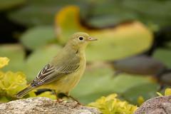 Yellow Warbler (lindapp57) Tags: yellowwarbler bird
