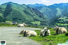 Repos sur la route (https://pays-basque.coline-buch.fr/) Tags: vache troupeau montagne paysbasque lasoule iraty aquitainelimousinpoitoucharentes sudouest sommets colinebuch montage larrau 64
