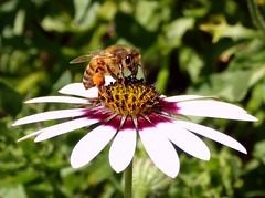Hive Provider. Apis mellifera, Honeybee, on African Daisy, Osteospermum, Hortus Botanicus, Amsterdam, The Netherlands (Rana Pipiens) Tags: apismellifera europeanhoneybee africandaisy osteospermum pollen enzymes hive larva insect flower nutrient